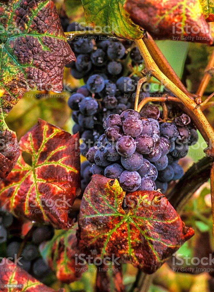 Purple Sangiovese Grapes, Autum Leaves stock photo