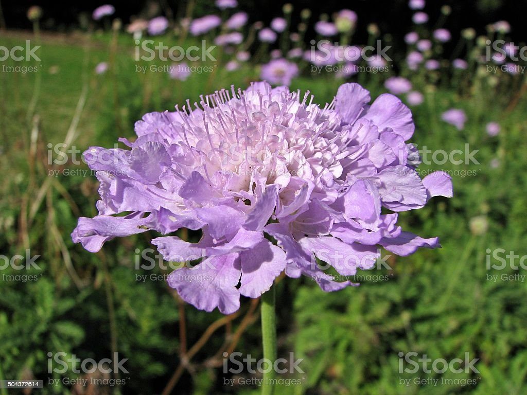 Purple Scabiosa incisa flower stock photo