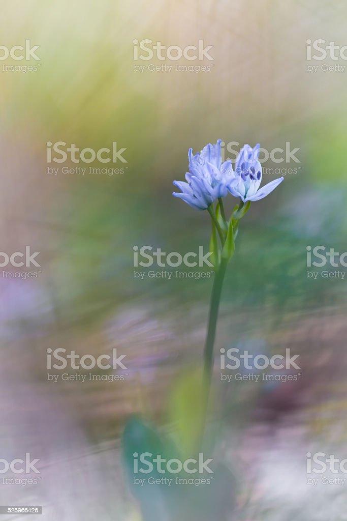 Purple Scilla verna flowers on dreamy  natural background stock photo