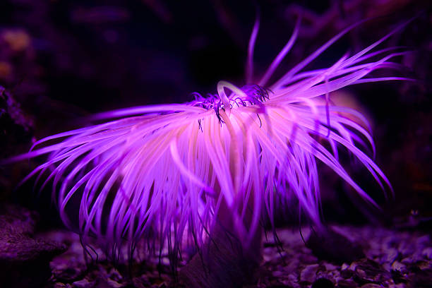Purple sea corals Beautiful purple sea corals polyp corals stock pictures, royalty-free photos & images