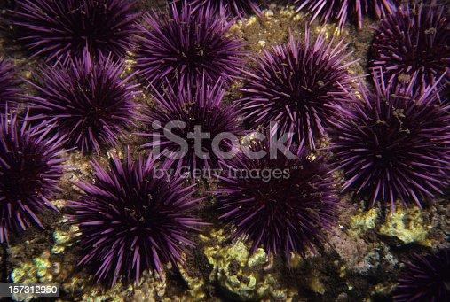 Sea Urchins, California. Strongylocentrotus purpuratus