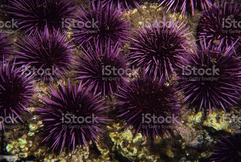 Purple Sea Urchins stock photo