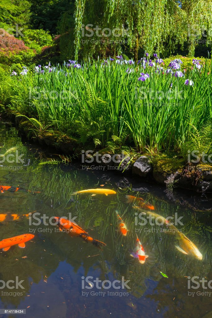 Purple Siberian Iris By Koi Fish Pond Stock Photo - Download
