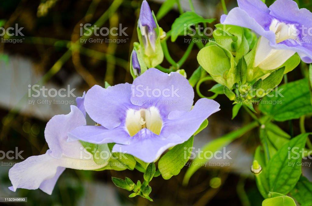 Paarse hemel wijnstokken in de botanische tuinen foto