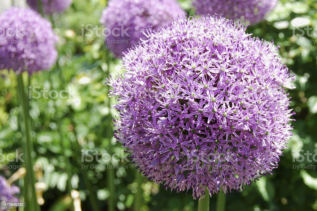 Purple Snowball Flower royalty-free stock photo