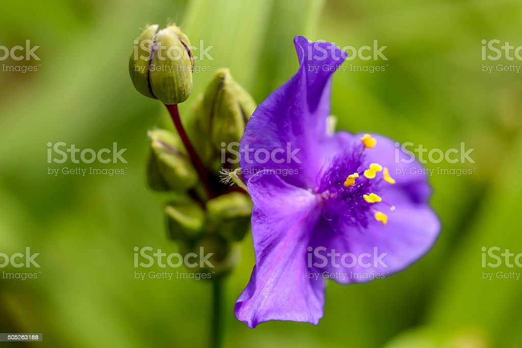 Purple Spiderwort Tradescantia Stock Photo Download Image Now Istock,Top Furniture Stores
