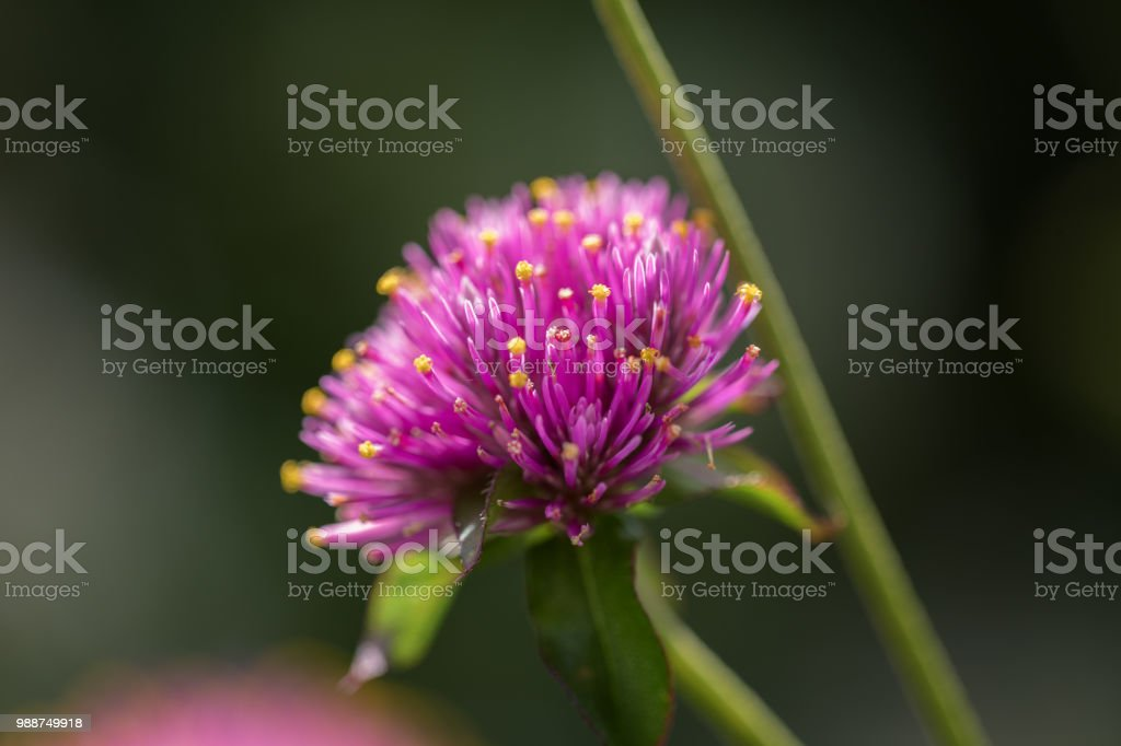 Purple spike flower bud stock photo