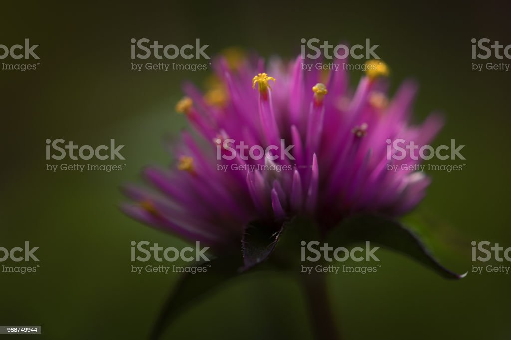 Purple spike flower with yellow buds stock photo