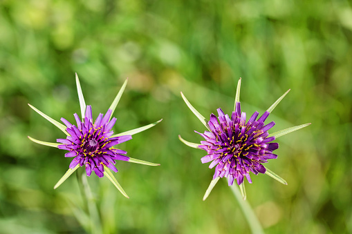 A vibrant purple wildflower with spikey green prongs