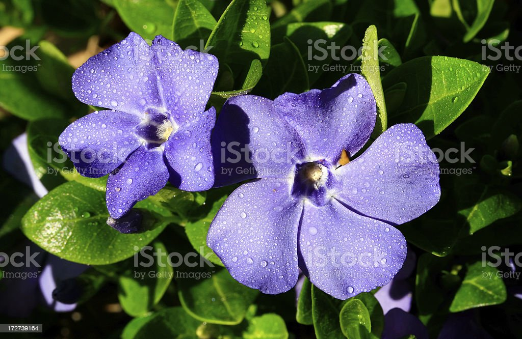 Purple Spring Blossom detail background stock photo