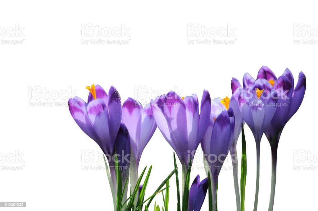 Purple spring flowers crocus isolated on white background stock photo