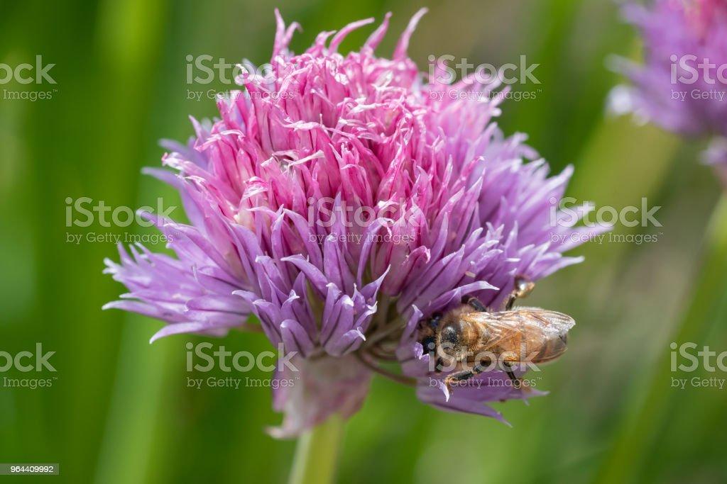 Cebolinhas roxas flores sendo apreciadas pelas abelhas - Foto de stock de Abelha royalty-free