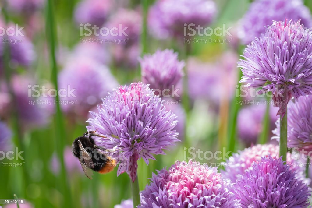 Paarse lente-uitjes bloemen wordt genoten door de bijen - Royalty-free Bestuiving Stockfoto