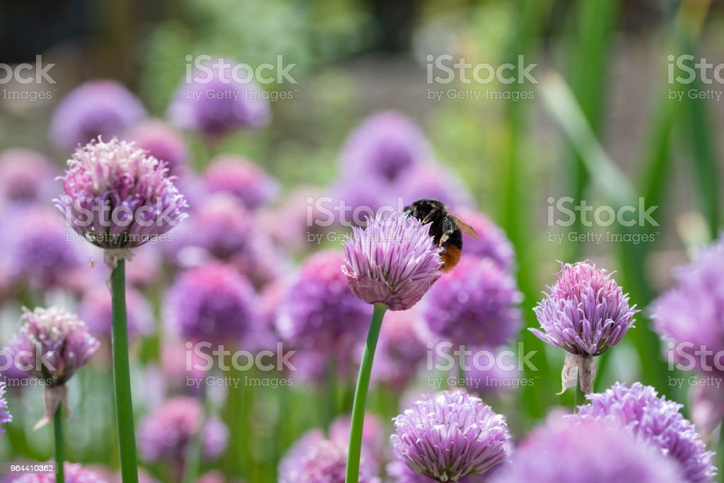 Purple spring onions flowers being enjoyed by the bees - Royalty-free Agricultural Field Stock Photo