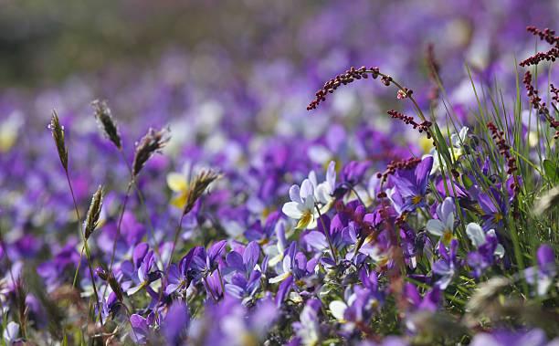 Purple Spring bildbanksfoto