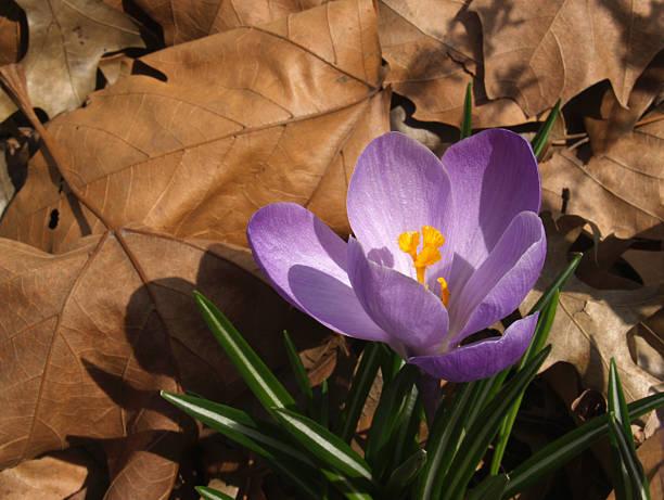 Purple Spring Saffron Crocus Poking Through Dead Leaves stock photo