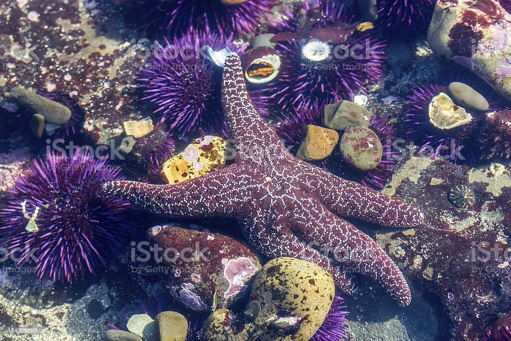 Purple  Starfish and Sea Urchin (Echinoderm) under the water stock photo