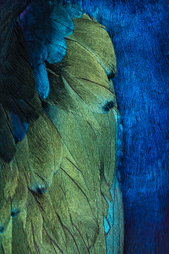 Full frame purple starling aka Lamprotornis purpureus bird feathers.