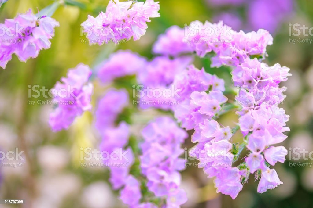 Purple statice flowers in springtime natural flowers background purple statice flowers in springtime natural flowers background royalty free stock photo mightylinksfo