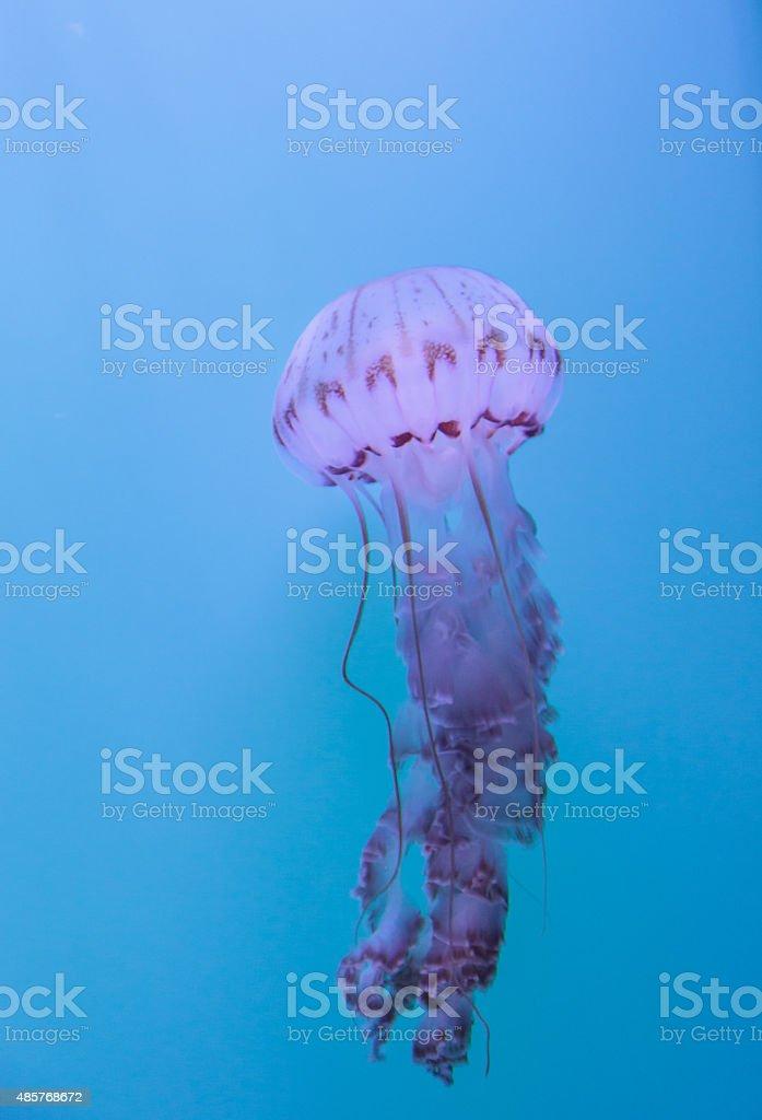 Purple striped jellyfish, Chrysaora colorata stock photo