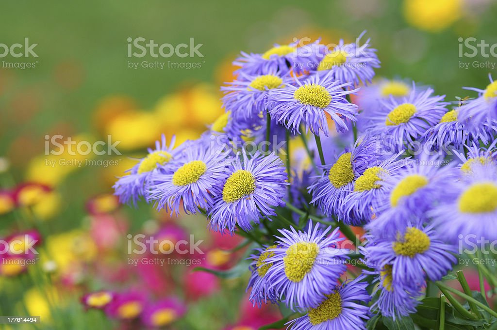 Purple summer asters royalty-free stock photo