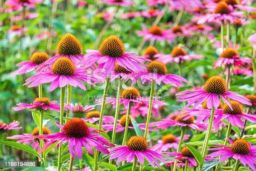 Lila Sonnenhut Echinacea Purpurea Field
