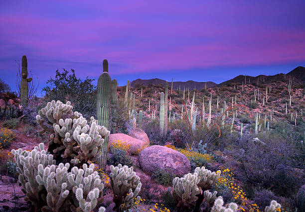 Purple sunset over the saguaro desert stock photo