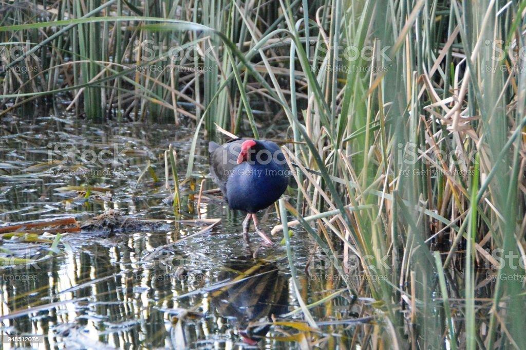 Purple swamphen in reeds stock photo