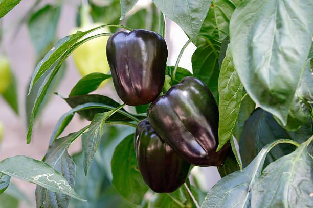 Purple sweet bell pepper stock photo