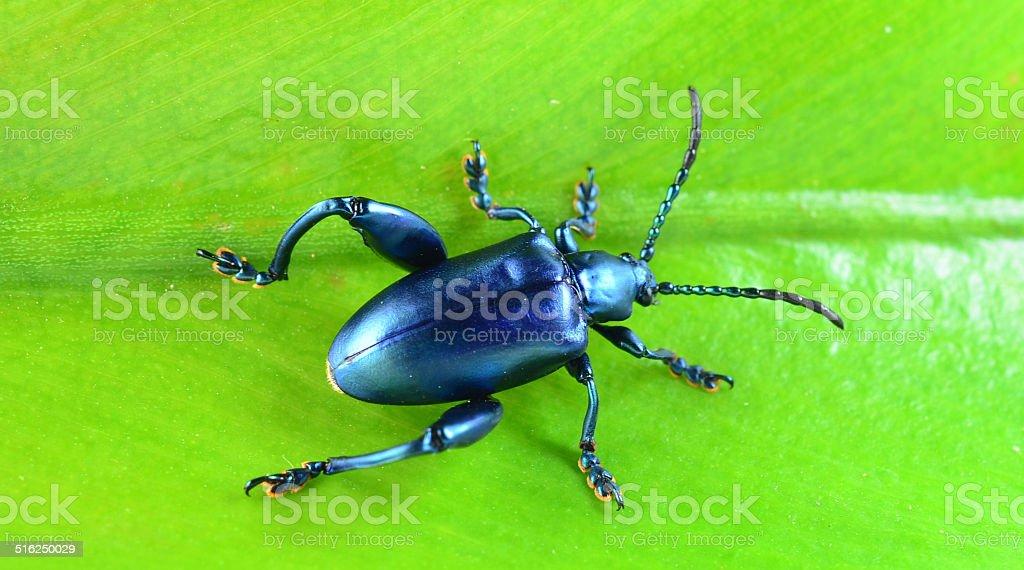 Purple Swollen-legged Beetle isolated on white background stock photo
