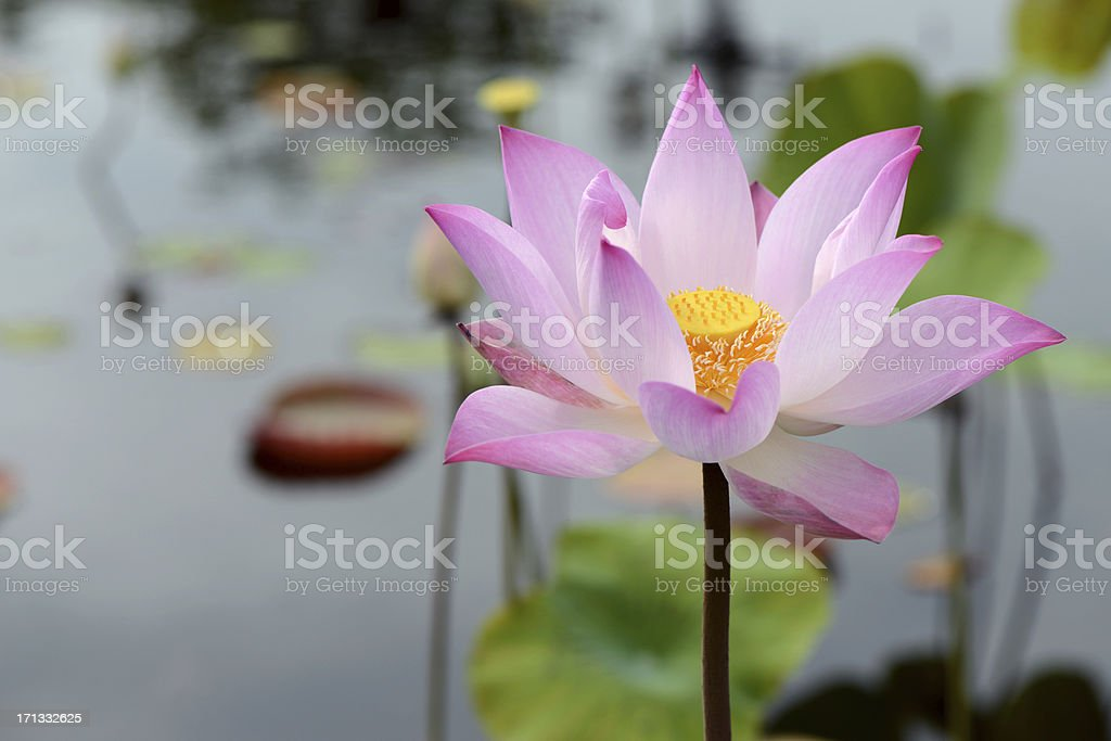 Purple Thai Lotus Flower close-up, Thailand royalty-free stock photo