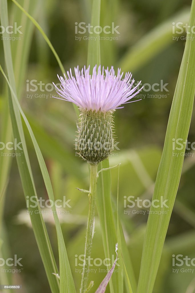 purple thistle bloom royaltyfri bildbanksbilder