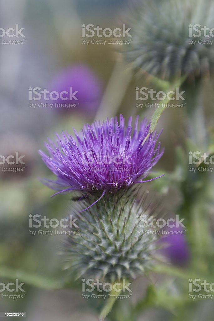 Purple Thistle close-up royalty-free stock photo