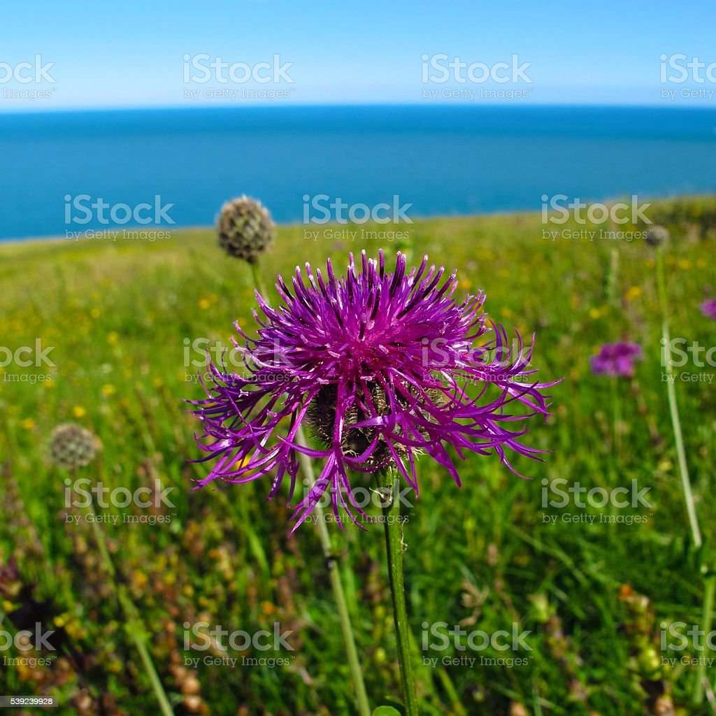 purple thistle green field with blue sea and sky background royalty-free stock photo