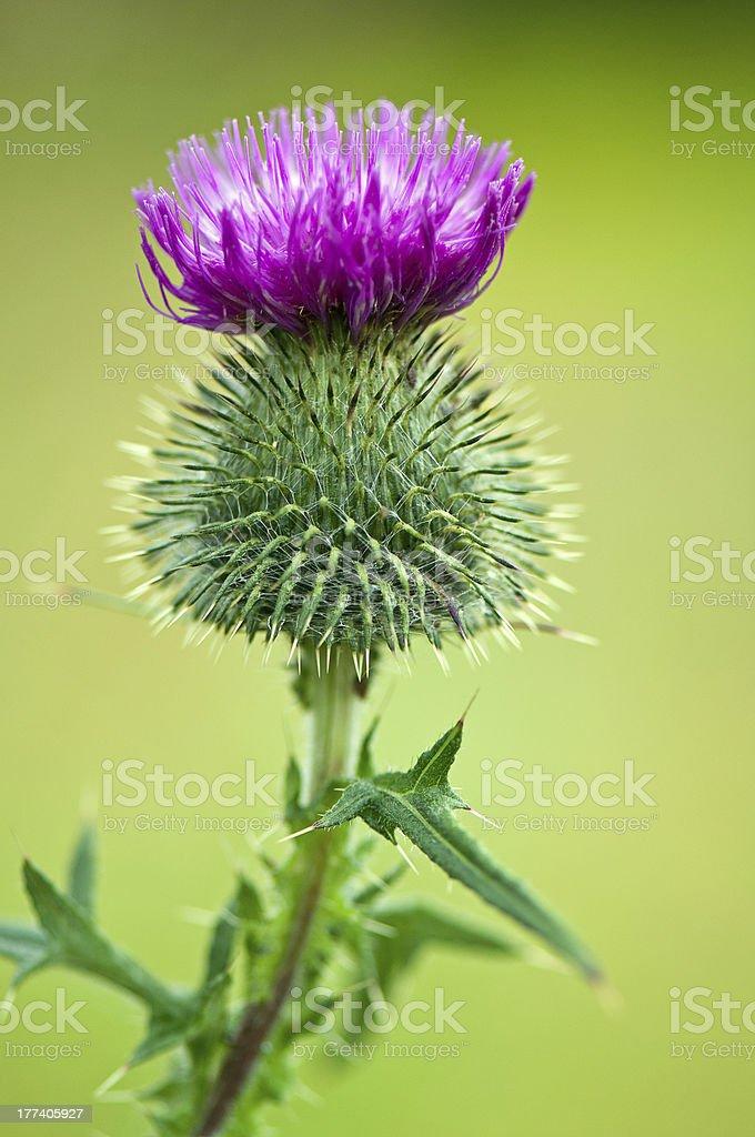 purple thistle stock photo