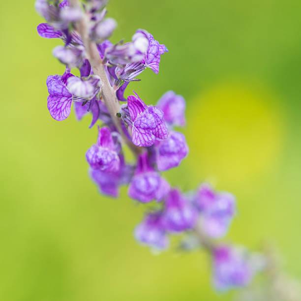 Purple Toadflax stock photo