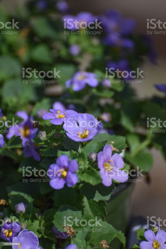 Purple Trailing Bacopa for Hanging Basket stock photo