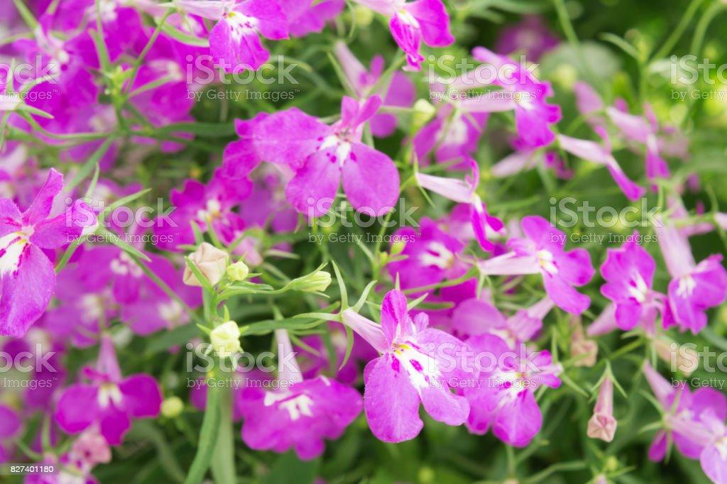 Purple Trailing Lobelia Sapphire Flowers Or Edging Lobelia Garden