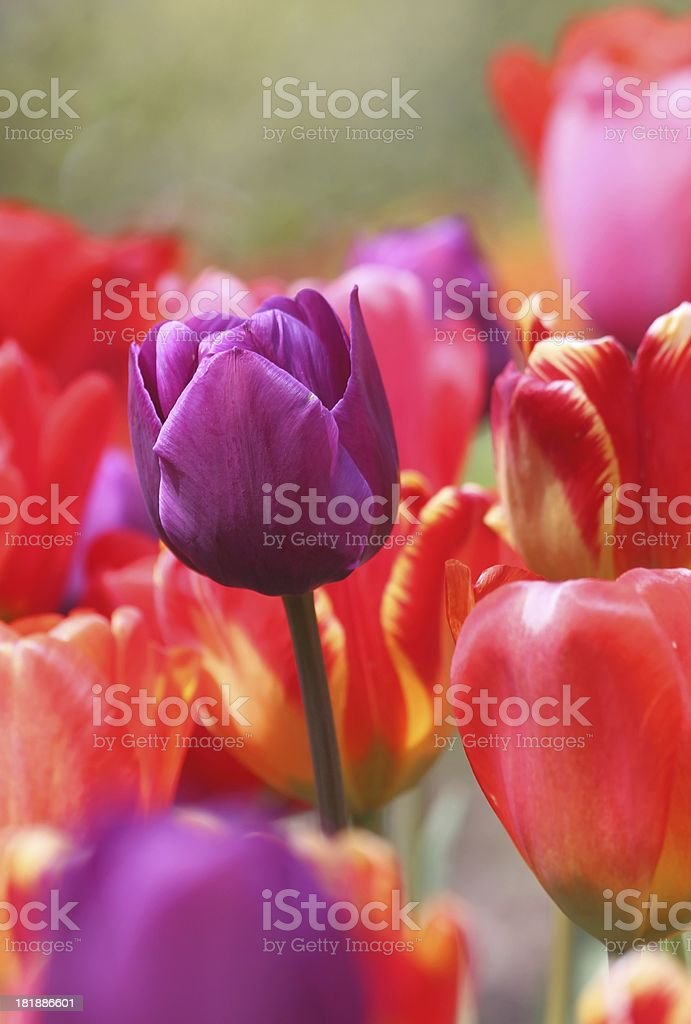 Purple Tulip in Red Field royalty-free stock photo