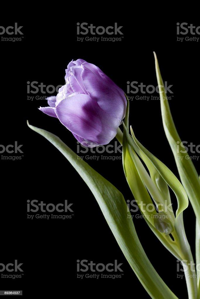 Purple tulip on black background royalty-free stock photo