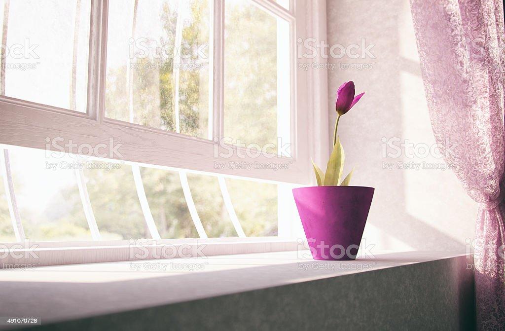 Purple tulip on window sill