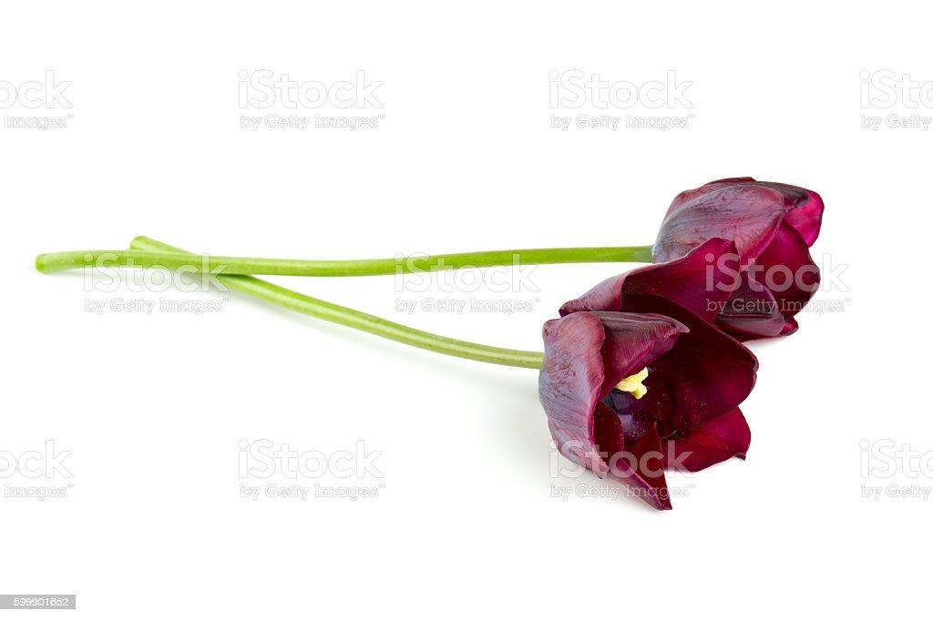 purple tulip over white stock photo