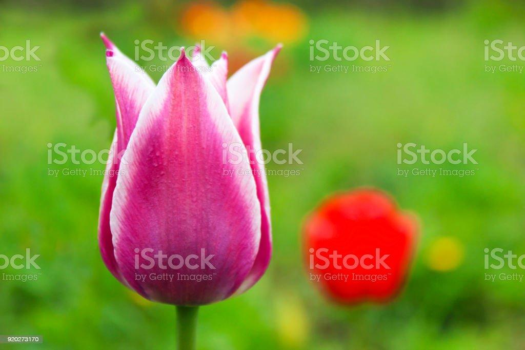 Purple tulip stock photo