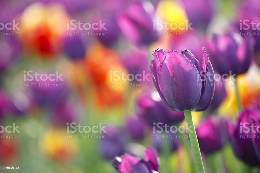 Purple tulip with small DOF royalty-free stock photo