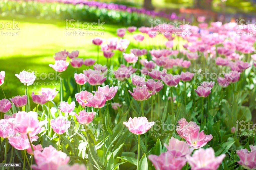 As tulipas roxas e grama verde. Parque com flores Keukenhof na primavera. Holland. Plano de fundo, - Foto de stock de Amarelo royalty-free