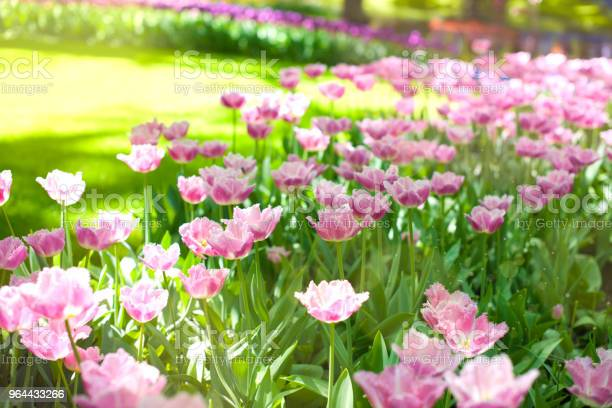 Foto de As Tulipas Roxas E Grama Verde Parque Com Flores Keukenhof Na Primavera Holland Plano De Fundo e mais fotos de stock de Amarelo
