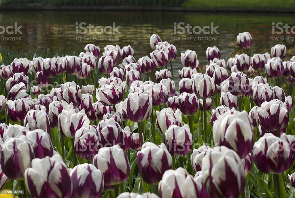 Purple Tulips at the Keukenhoff Garden royalty-free stock photo