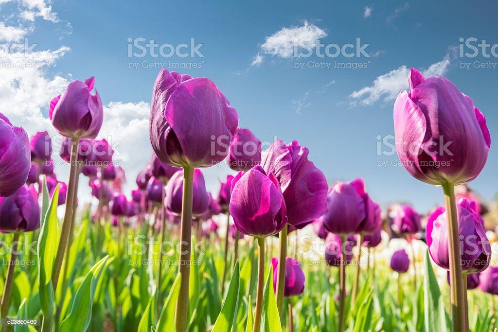 Lila Tulpen Blumen – Foto