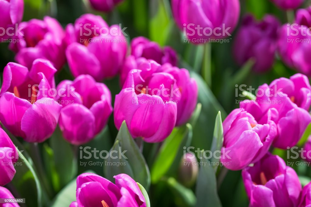 Purple Tulips close-up stock photo