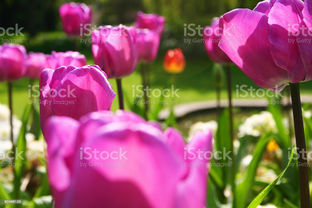 Purple tulips growing in a springtime English garden. royalty-free stock photo